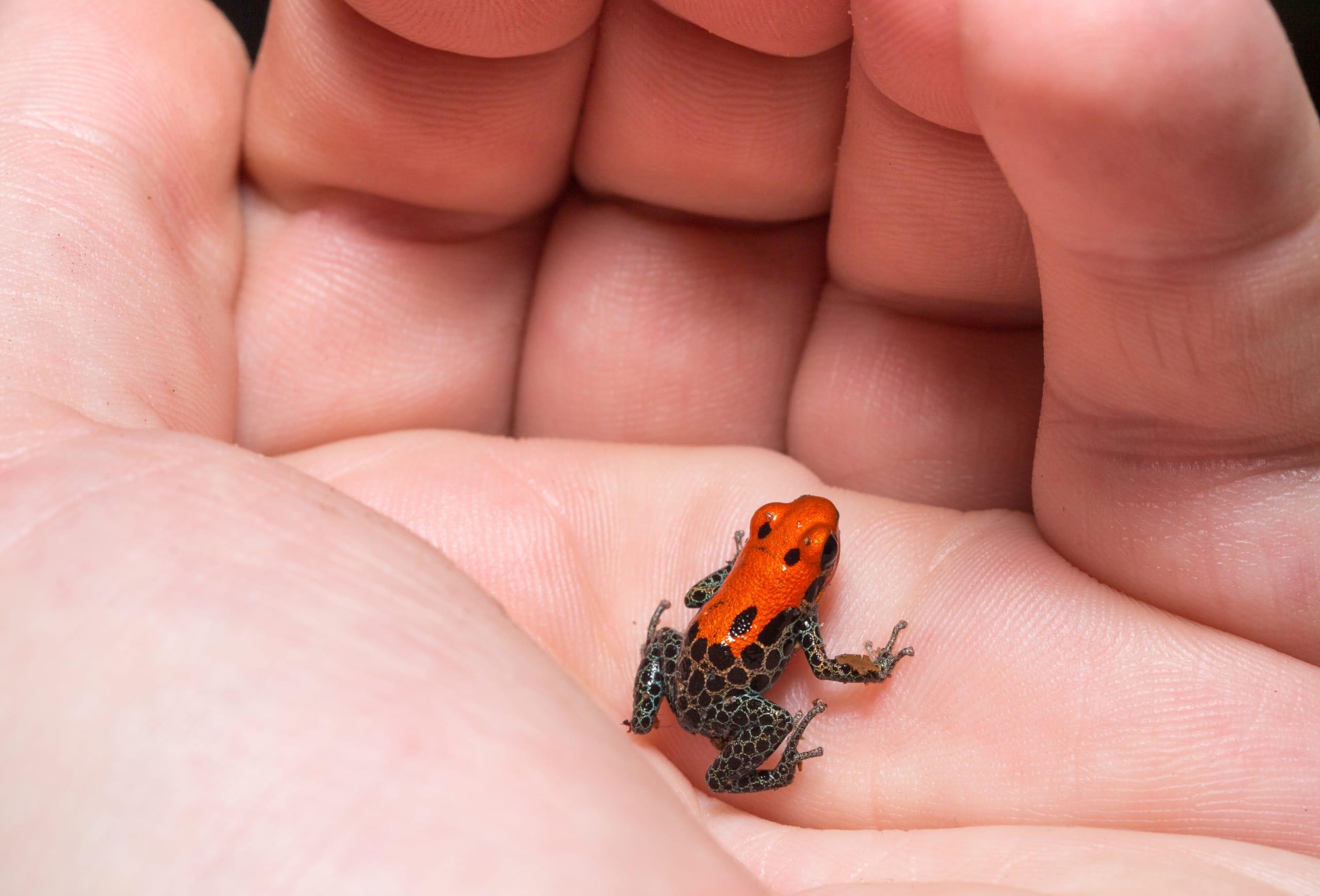 Redbacked Poison Frog Ranitomeya Reticulata