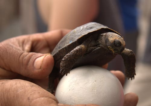 galapagos tortoise hatchling with egg