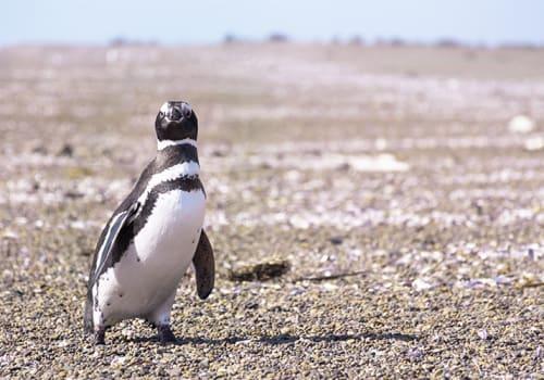 Penguin Crossing Street Puerto Madryn