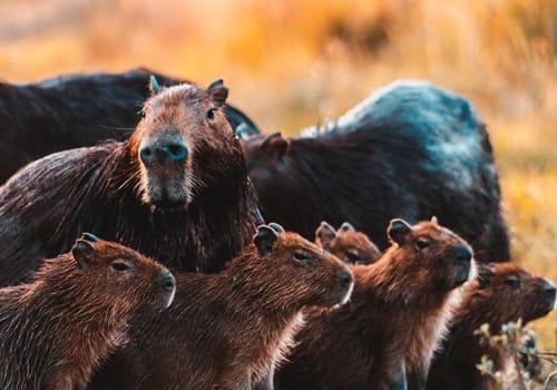Group Capybara Argentina Wetlands