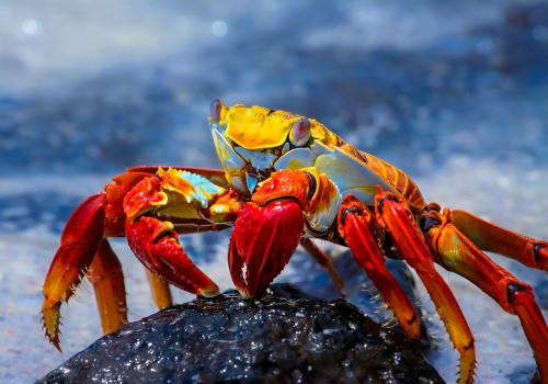 Sally Lightfoot Crab On A Lava Rock Galapagos