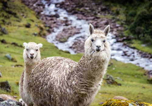 Alpacas Along The Inca Trail, The Andes Mountains