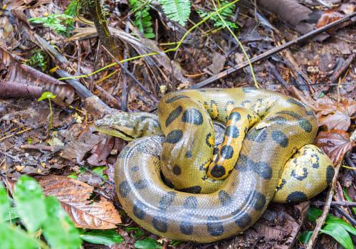 Yellow Anaconda Seen Deep In The Amazon