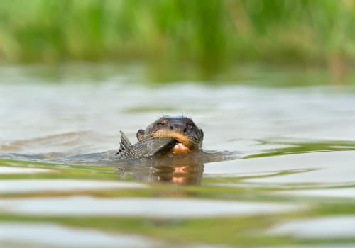 Close,Up,Of,A,Giant,River,Otter,Eating,A,Fish