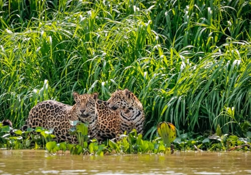 Two,Jaguar,Brothers,Standing,On,A,River,Edge,Against,Green