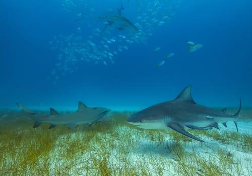 Bull,Shark,In,Its,Natural,Habitat