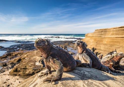 Galapagos,Marine,Iguana,-,Iguanas,Warming,In,The,Sun,On
