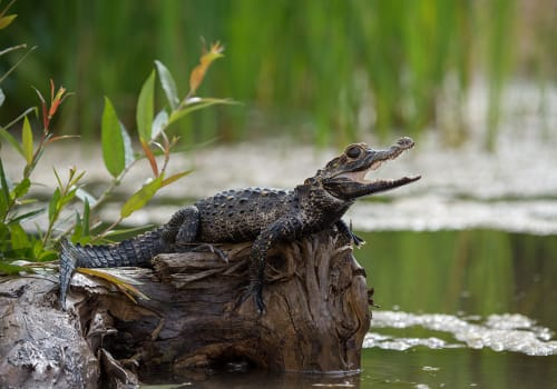Black,Caiman,(melanosuchus,Niger),Amazon,Rainforest,,Brazil