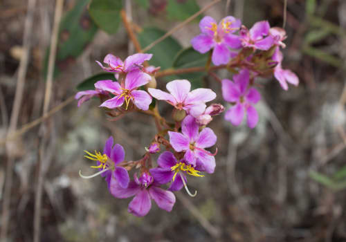 Orchid,Flowers,Blossoming,,Amazon,Jungle,,Madre,De,Dios,,Puerto,Maldonado,