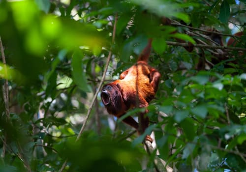 Red,Howler,Monkey,(alouatta,Seniculus),In,Tambopata,National,Reserve,,Peru