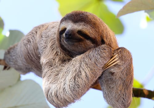 Happy,Sloth,Hanging,On,The,Tree