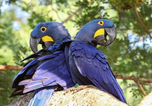 Pair Of Hyacinth Macaws Perching Together On A Branch