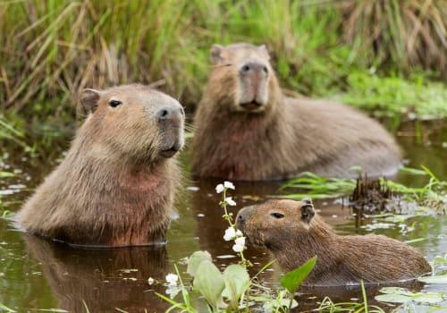 Capybara Family, Pantanal - Brazil