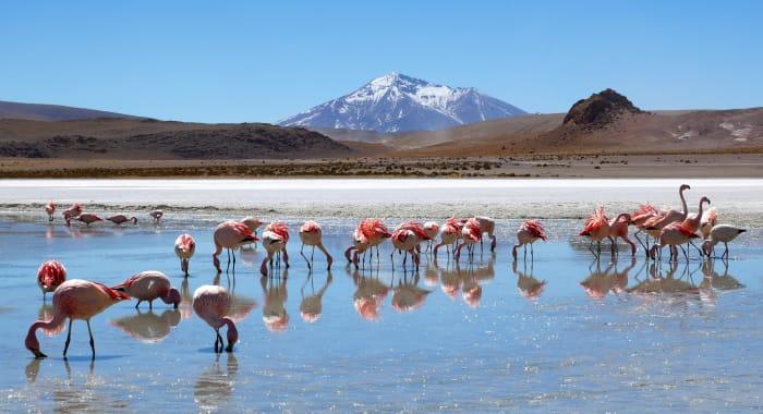Pink Flamingos Altiplano Andes Bolivia