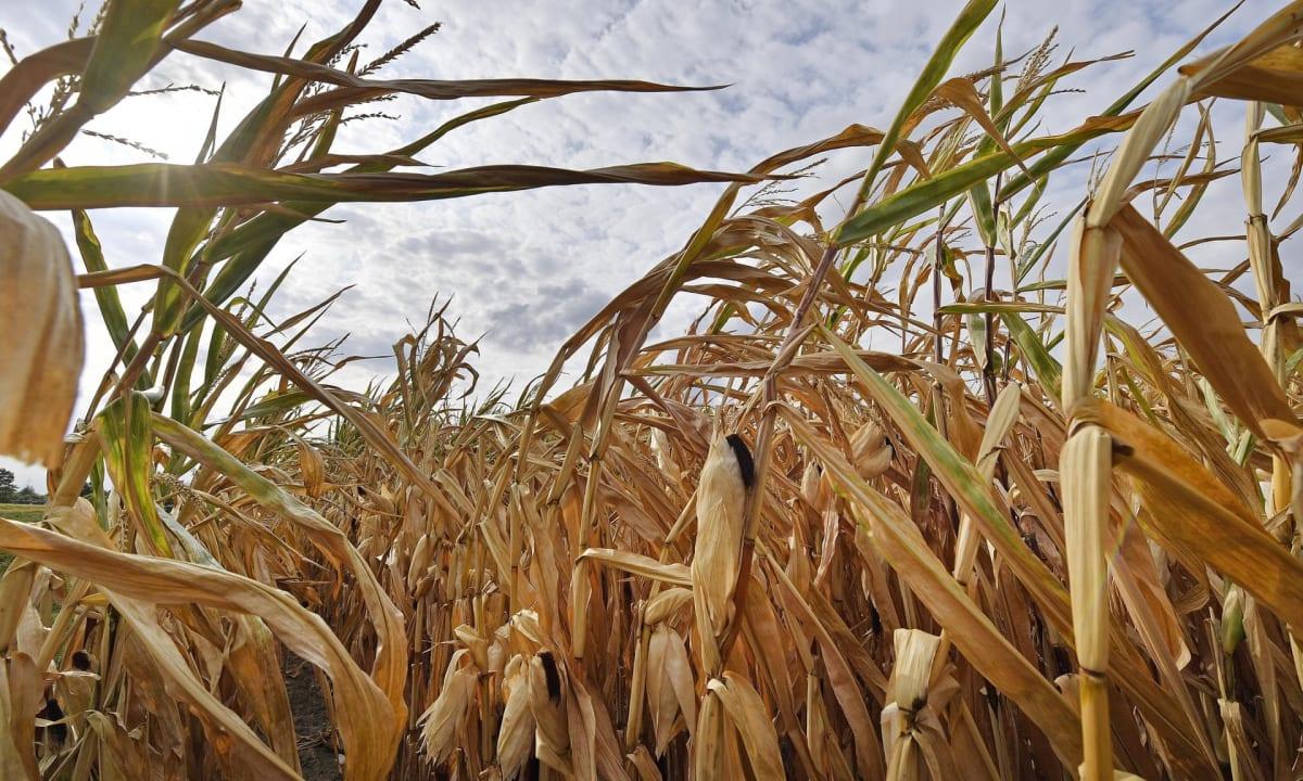 Egy száraz kukoricatábla Ahlenben, Németországban, ahol már aratnak az idei extrém szárazság miatt. Fotó: Martin Meissner / AP   ClimeNews