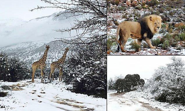 Zsiráfok, oroszlánok és elefántok is kaptak a Dél-Afrikai havazásból