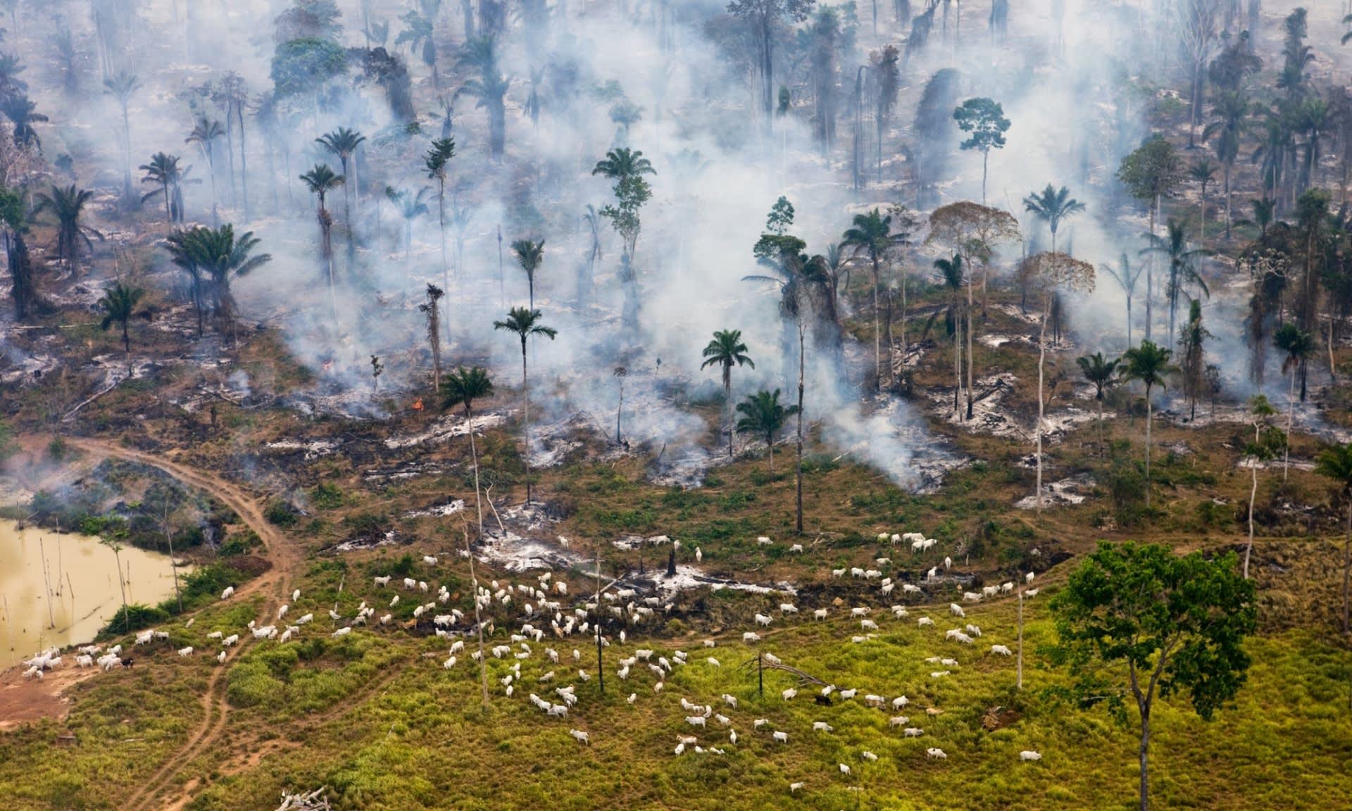 Tehenek és füst, fotó: Daniel Bertra/Greenpeace | ClimeNews