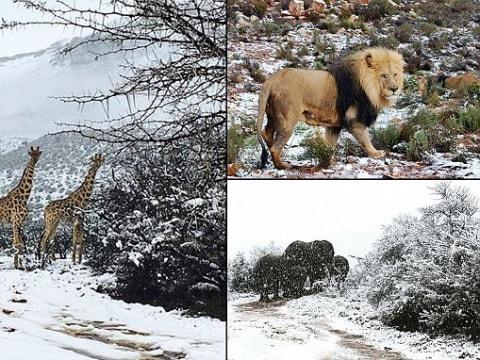 Zsiráfok és elefántok is kaptak a Dél-Afrikai havazásból - ClimeNews - Hírportál   Fotó: Kitty Viljoen