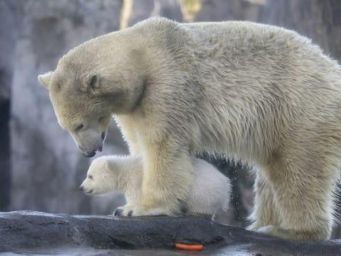 Nemzetközi Jegesmedve Nap | ClimeNews - Hírportál