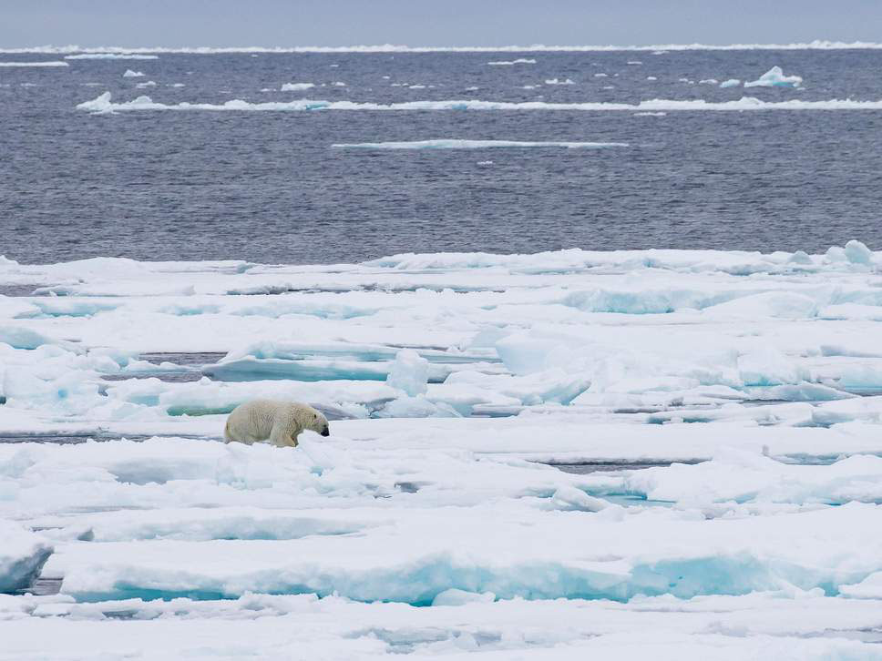 Shrinking sea ice threatens wildlife such as polar bears and in turn causes temperatures to rise ( Rex ) - ClimeNews