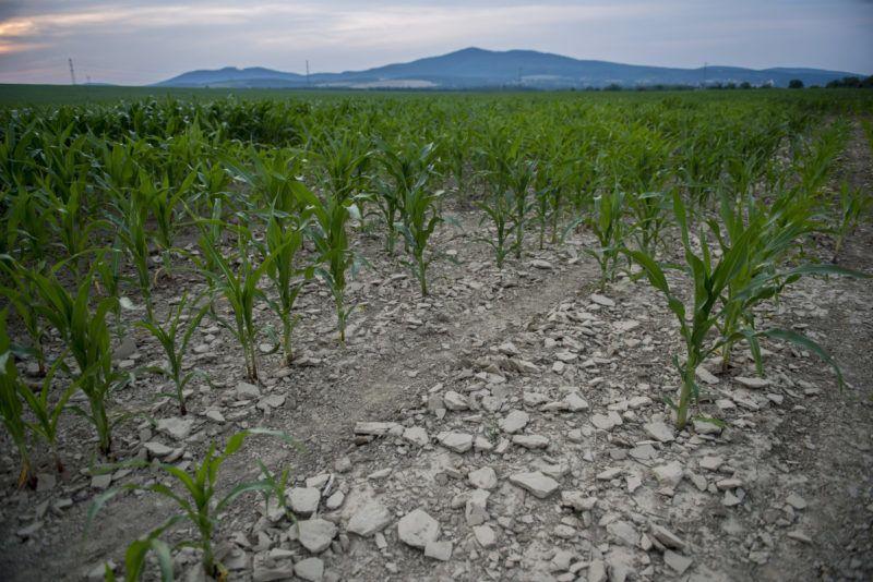 Kiszáradt kukoricaföld Pécsvárad közelében – Fotó: Sóki Tamás / MTI | ClimeNews