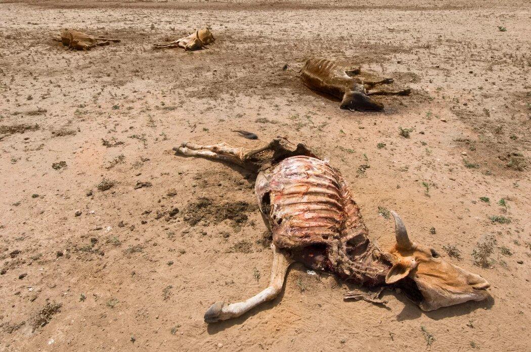 Alkalmazkodás a várható klímakatasztrófához | ClimeNews - Hírportál | The effect of drought on cows in Ethiopia. Photo: TheImage / Alamy Stock Photo