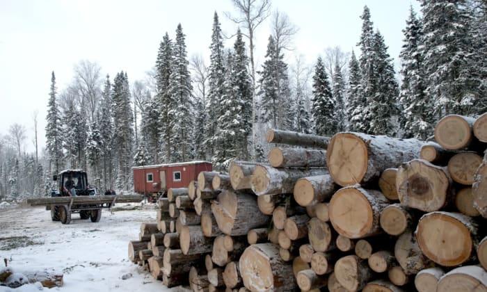 Európai cégek vették át az illegálisan kiirtott tajgai fákat | ClimeNews