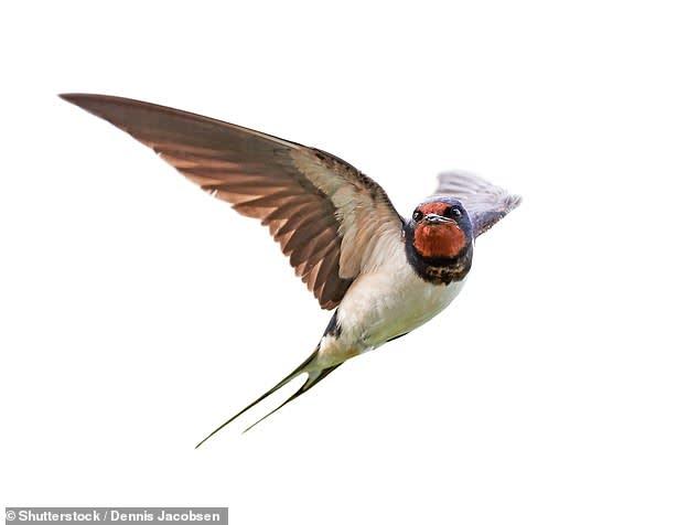A fecskék rovarokat esznek, az emberek meg fecskéket | ClimeNews - Hírportál