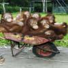 KitKat-botrány: nem esznek többet orángután-ujjat | ClimeNews - Hírportál