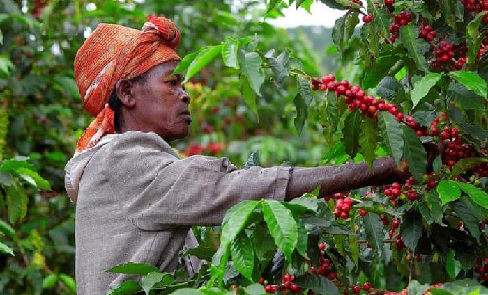 Rwandan coffee farmers | A kávé karbonlábnyomáról | ClimeNews Hírportál