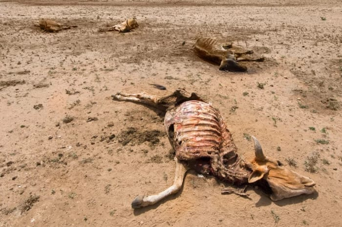 Alkalmazkodás a várható klímakatasztrófához | ClimeNews - Hírportál | The effect of drought on cows in Ethiopia. Photo: TheImage / Alamy Stock Photo