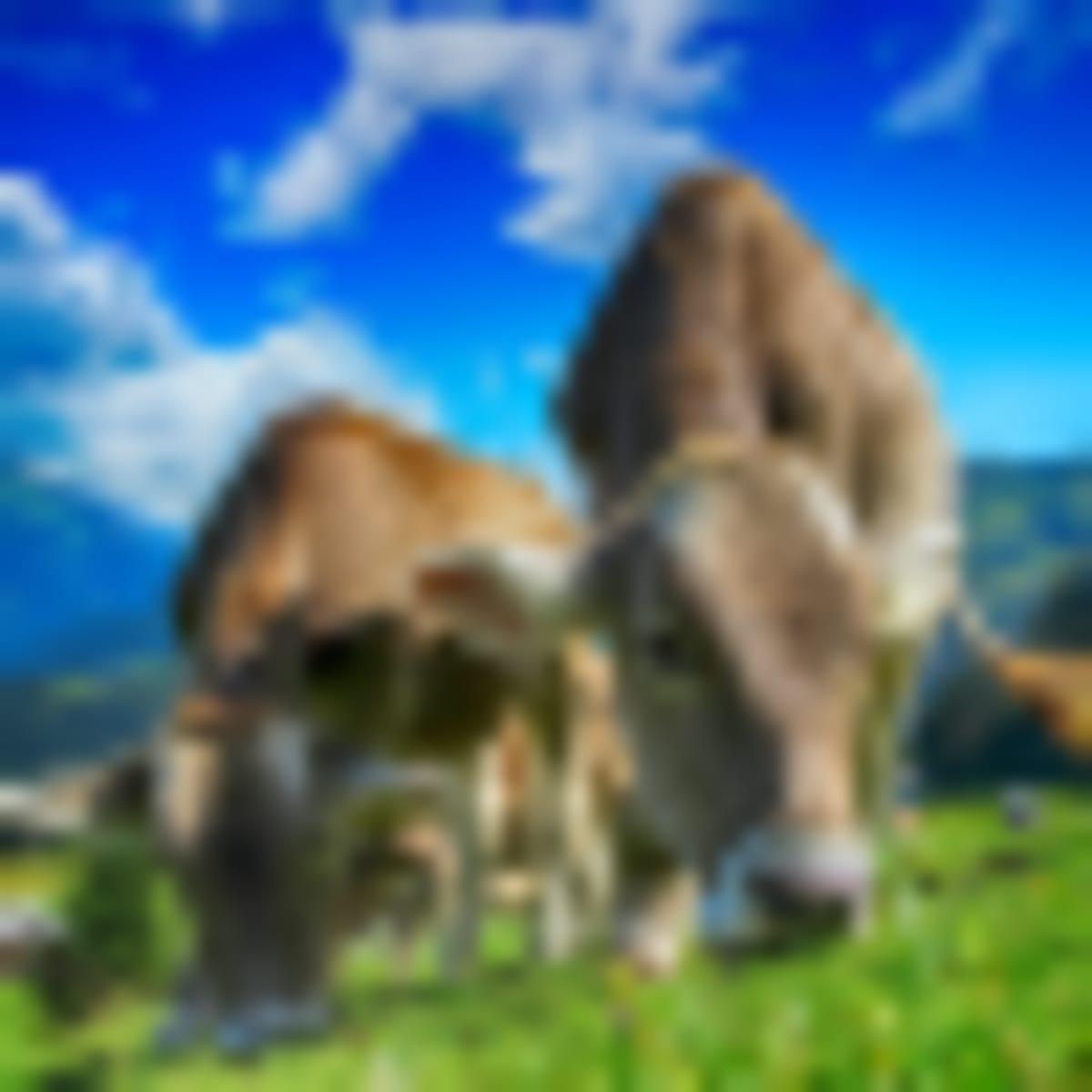 82%-kal csökkenthető a szarvasmarhák metánkibocsátása