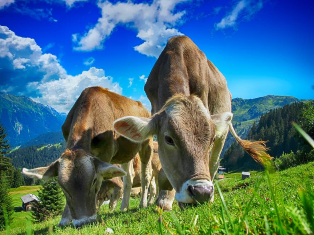 82%-kal csökkenthető a szarvasmarhák metánkibocsátása | ClimeNews