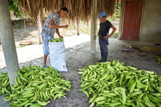 Comerciantes preparando bultos de plátanos