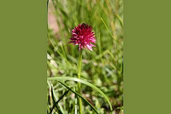 Nigritelle rose dans le Queyras