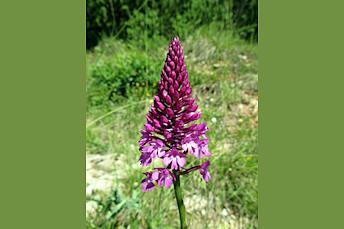 Orchis: fleur lors de la randonnée en Aveyron à côté de Souyri