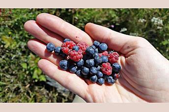 Fruits sauvages trouvés lors de la randonnée