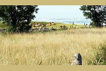 Troupeau de vaches race Aubrac