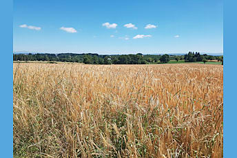 Des blés et la nature au loin