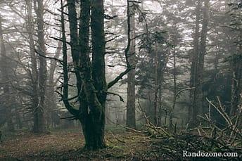 Forêt dans le brouillard