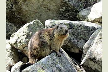 Marmotte en juin au Lac du Lauvitel en Isère