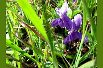 Violettes printanières en Aubrac