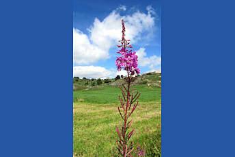 Fleur d'Aubrac, près de la Cascade du Déroc