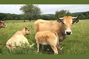 Vaches d'Aubrac, près de Laguiole