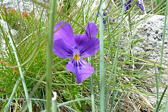 Violette sur le Puy Mary