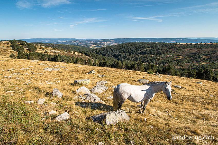 Chevaux dans le massif des Cévennes