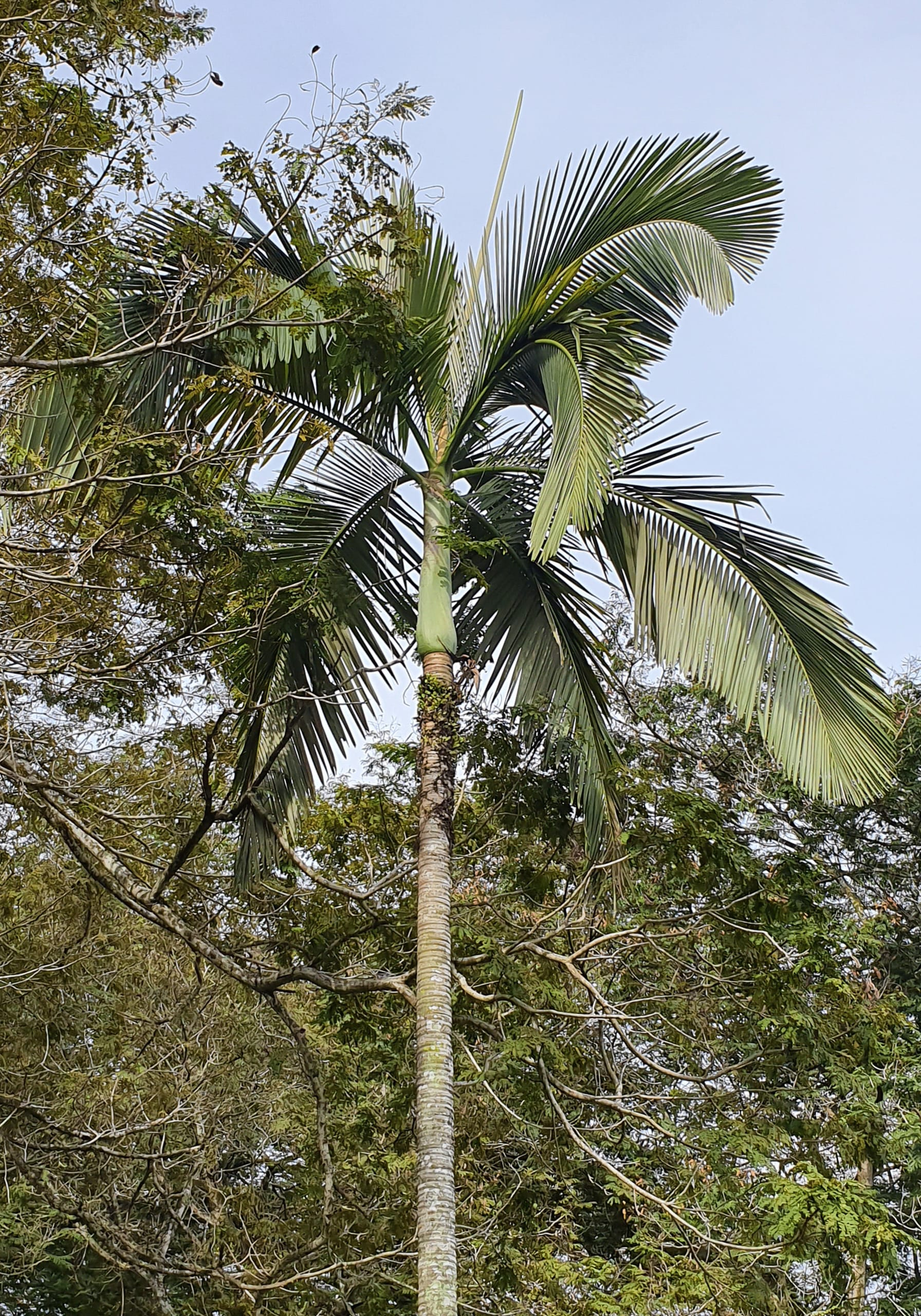 Royal palm, Singapore 2019