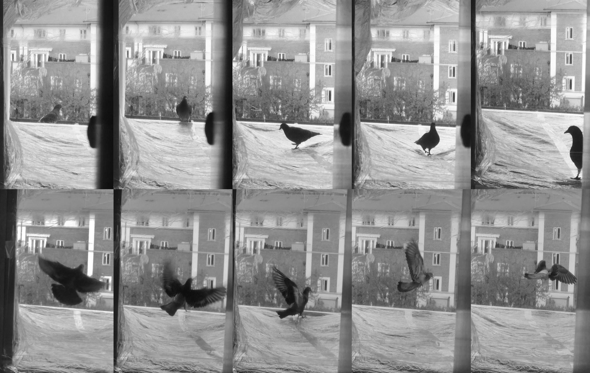 pigeon | 01:43 pm, 19 April | bridge II