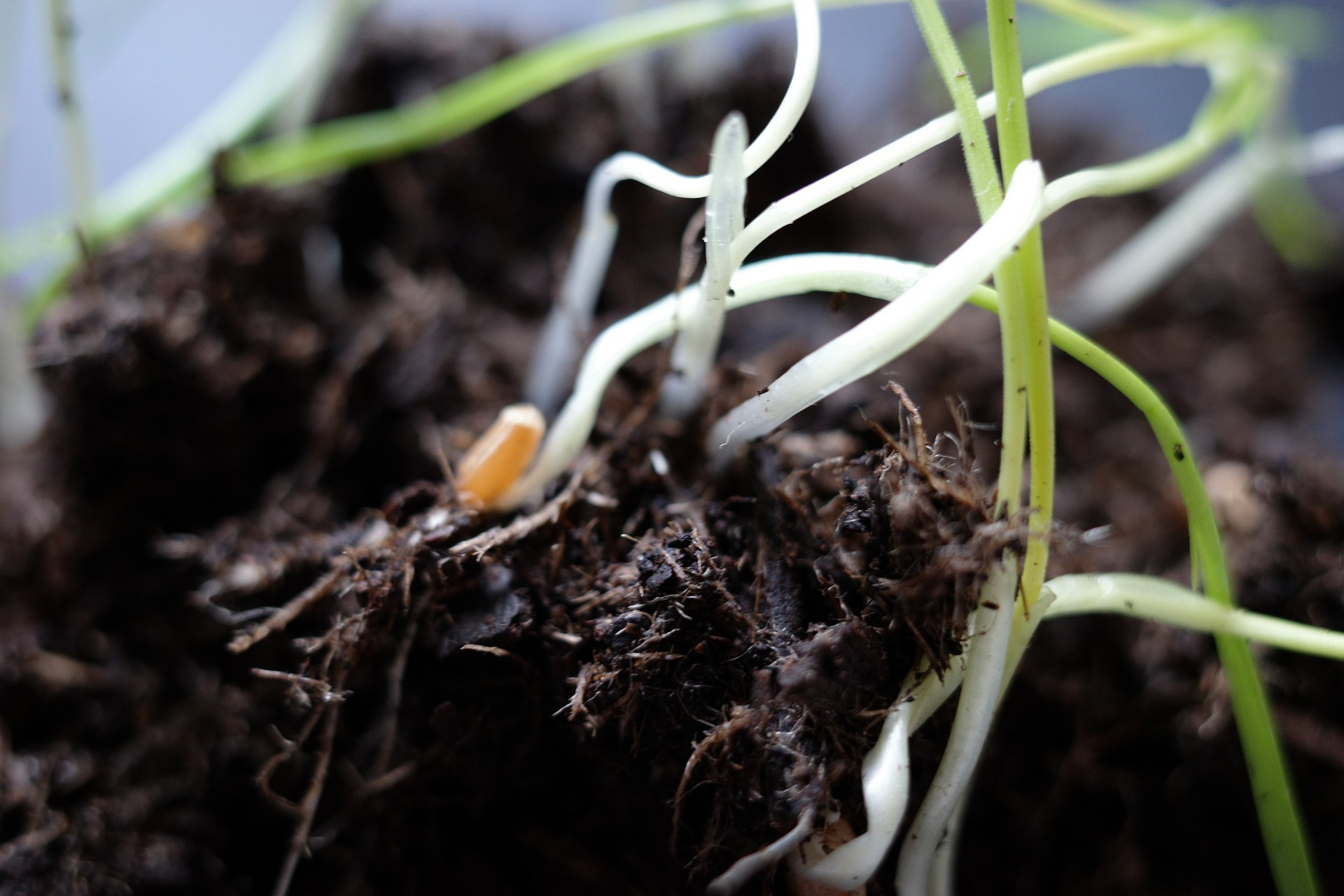 Detail of sprouting wheat seeds