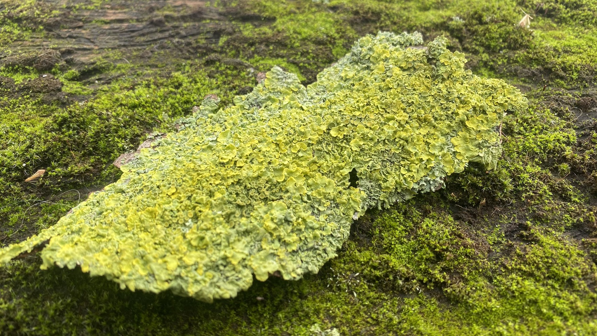 The Moss